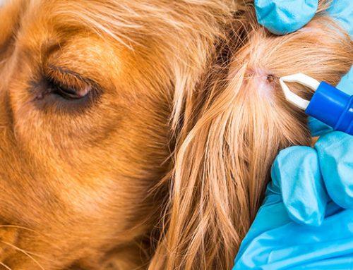 Maladie de Lyme chez les animaux